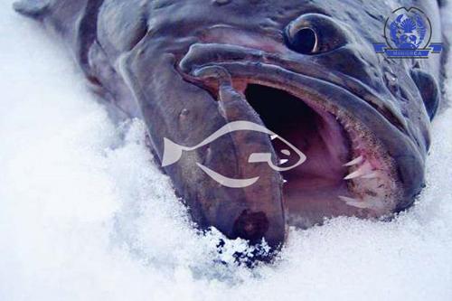 格陵兰比目鱼食用