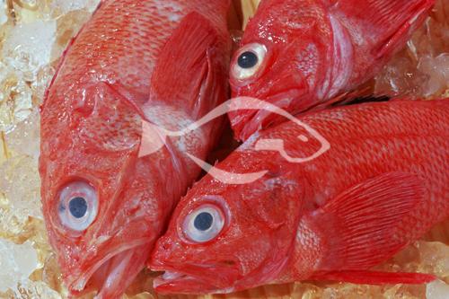 米诺卡 红鱼形态特征