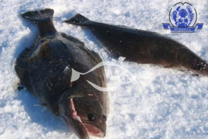 格陵兰比目鱼捕捞