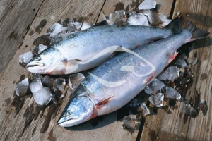 三文鱼分布