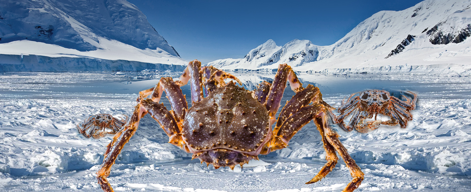 Imported seafood king crab